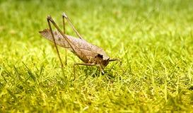 Grasshopper στο μακρο υπόβαθρο χλόης Στοκ Εικόνα