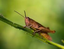 Grasshopper στο μακρο ύφος Στοκ Εικόνα