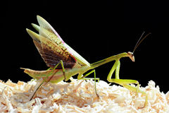 Grasshopper στο μαύρο υπόβαθρο στοκ εικόνες με δικαίωμα ελεύθερης χρήσης