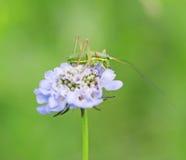 Grasshopper στο λουλούδι Στοκ φωτογραφίες με δικαίωμα ελεύθερης χρήσης