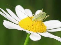 Grasshopper στο λουλούδι Στοκ Εικόνα