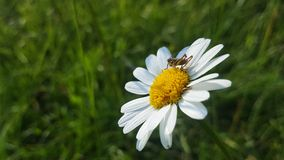 Grasshopper στο λουλούδι chamomille Στοκ Εικόνες