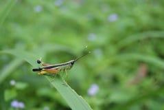 Grasshopper στο πράσινο λιβάδι Στοκ φωτογραφία με δικαίωμα ελεύθερης χρήσης