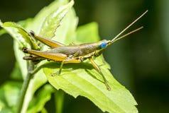 Grasshopper στο πράσινο φύλλο στο δάσος Στοκ Φωτογραφίες