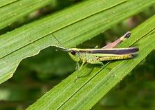 Grasshopper στο πράσινο φύλλο στο δάσος Στοκ Εικόνα
