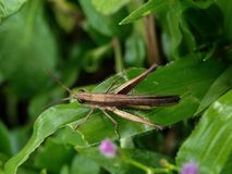 Grasshopper στο πράσινο φύλλο - Ινδονησία στοκ φωτογραφία με δικαίωμα ελεύθερης χρήσης