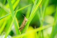 Grasshopper στο πράσινο φύλλο χλόης Στοκ Εικόνα