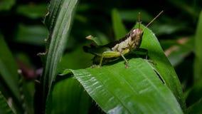 Grasshopper στο πράσινο φύλλο χλόης Στοκ φωτογραφία με δικαίωμα ελεύθερης χρήσης
