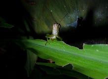 Grasshopper στο πράσινο φύλλο χλόης Στοκ εικόνα με δικαίωμα ελεύθερης χρήσης