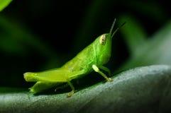 Grasshopper στο πράσινο φύλλο χλόης Στοκ φωτογραφίες με δικαίωμα ελεύθερης χρήσης