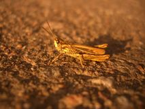 Grasshopper στο δρόμο Στοκ Φωτογραφία