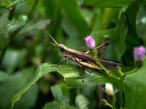 Grasshopper στο φρέσκο πράσινο φύλλο στοκ φωτογραφίες με δικαίωμα ελεύθερης χρήσης