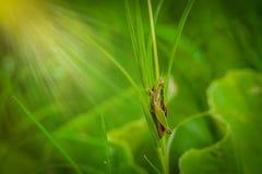 Grasshopper στο φύλλο στενού επάνω χλόης στον τομέα Στοκ φωτογραφίες με δικαίωμα ελεύθερης χρήσης