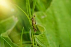 Grasshopper στο φύλλο στενού επάνω χλόης στον τομέα Στοκ Εικόνες