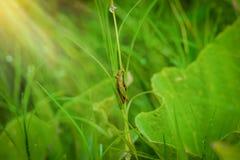 Grasshopper στο φύλλο στενού επάνω χλόης στον τομέα Στοκ εικόνες με δικαίωμα ελεύθερης χρήσης