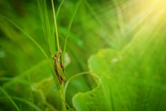 Grasshopper στο φύλλο στενού επάνω χλόης στον τομέα Στοκ Φωτογραφίες