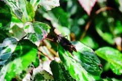 Grasshopper στο φύλλο Στοκ φωτογραφίες με δικαίωμα ελεύθερης χρήσης