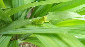 Grasshopper στο φύλλο Στοκ Φωτογραφία