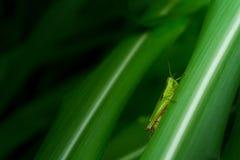 Grasshopper στο φύλλο, Grasshopper στο εθνικό πάρκο Saraburi Π φύλλων Στοκ εικόνα με δικαίωμα ελεύθερης χρήσης