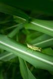Grasshopper στο φύλλο, Grasshopper στο εθνικό πάρκο Saraburi Π φύλλων Στοκ φωτογραφία με δικαίωμα ελεύθερης χρήσης