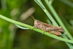 Grasshopper συνεδρίαση σε έναν μίσχο λουλουδιών στην πράσινη ζούγκλα Στοκ Εικόνες