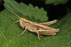 Grasshopper τομέων (albomarginatus Chorthippus) Στοκ φωτογραφία με δικαίωμα ελεύθερης χρήσης
