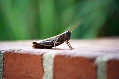 Grasshopper φίλος Στοκ εικόνες με δικαίωμα ελεύθερης χρήσης