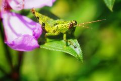 grasshopper & φύλλο Στοκ Φωτογραφίες