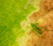 grasshopper φύλλο Στοκ φωτογραφία με δικαίωμα ελεύθερης χρήσης