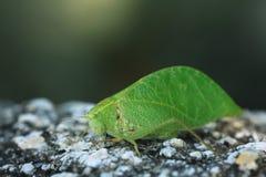 Grasshopper φύλλο δέντρων μίμων Στοκ Εικόνα