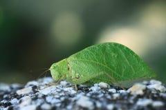 Grasshopper φύλλο δέντρων μίμων Στοκ εικόνες με δικαίωμα ελεύθερης χρήσης