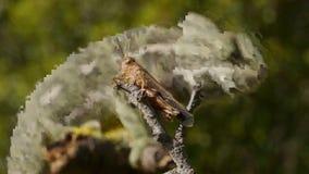 Grasshopper χαμαιλεόντων κυνήγι απόθεμα βίντεο