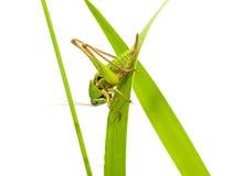 grasshopper χλόης κινηματογραφήσε&o Στοκ εικόνα με δικαίωμα ελεύθερης χρήσης
