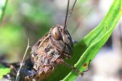 grasshopper χλόης κινηματογραφήσε&o Στοκ εικόνες με δικαίωμα ελεύθερης χρήσης