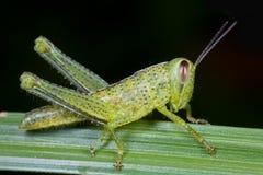 grasshopper χλόης λεπίδων που επισ Στοκ φωτογραφίες με δικαίωμα ελεύθερης χρήσης