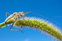 grasshopper χλόης Στοκ Εικόνα