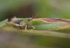 grasshopper χλόης Στοκ φωτογραφία με δικαίωμα ελεύθερης χρήσης