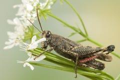 grasshopper χλόης Στοκ Εικόνες