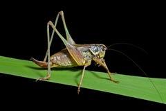 grasshopper χλόης 3 λεπίδων Στοκ Εικόνα