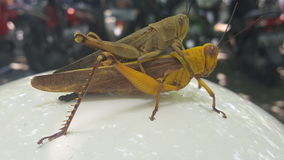 grasshopper δύο εντόμων Στοκ φωτογραφία με δικαίωμα ελεύθερης χρήσης