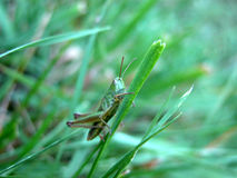 Free Grasshopper Royalty Free Stock Photography - 617