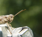 Grasshopper. Macro shot of a grasshopper on a tripod royalty free stock image