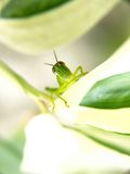 Grasshopper 1 Royalty Free Stock Images