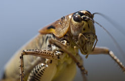 Free Grasshopper Royalty Free Stock Photos - 10198298