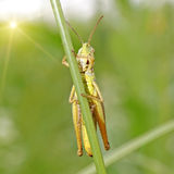 Grasshopper. On fresh green background Royalty Free Stock Photography