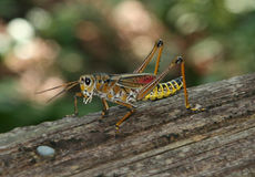Grasshopper. On wood royalty free stock images