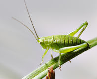 Grasshopper. Royalty Free Stock Photos