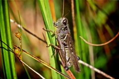 Grasshopper. A field grasshopper holding onto grass Royalty Free Stock Image