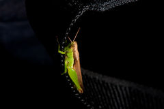 Grasshopper. A grasshopper clings to a bag strap stock photography