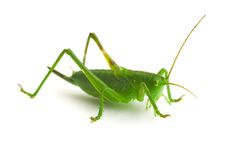 Grasshopper. Green grasshopper and insect isolation stock photos